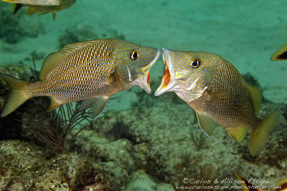 Florida keys diving in islamorada with key dives for Whiting fish florida